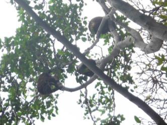 Howler monkeys: San Juan area
